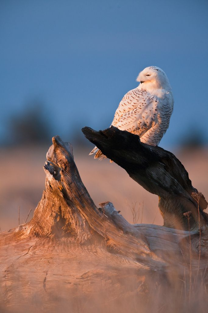 Alert Snowy Owl at Damon Point State Park in Washington State | Flickr - Photo Sharing!
