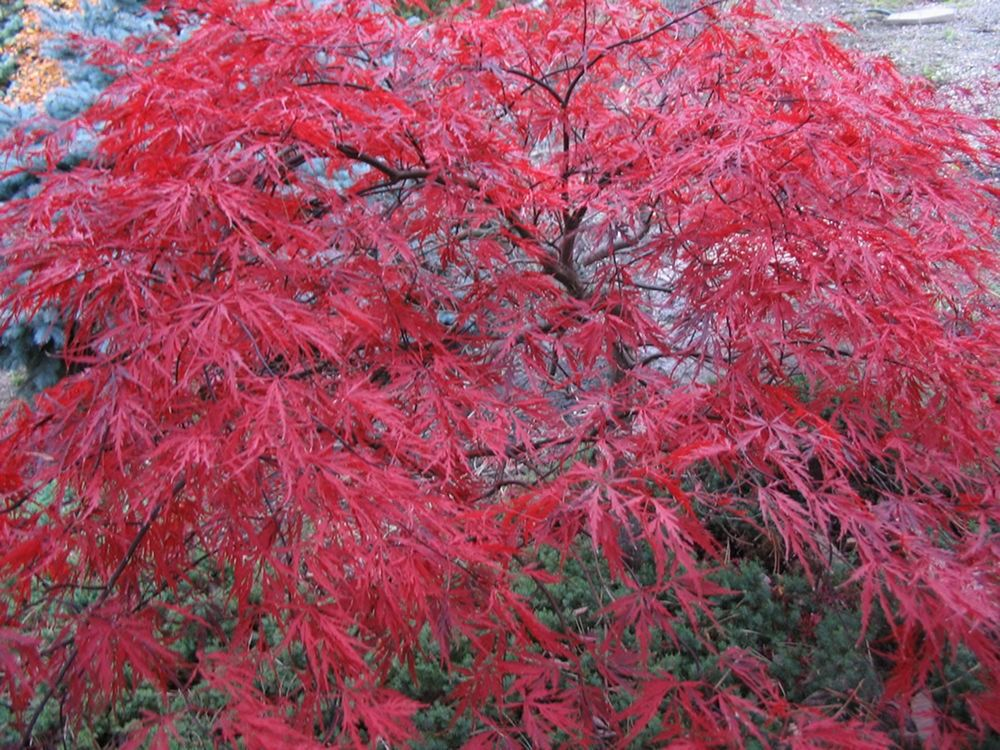 Red Dragon Japanese Maple - Google Search