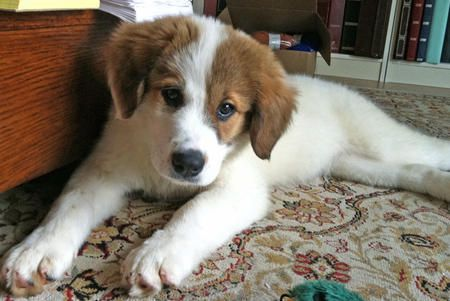 Penny The Great Pyrenees Border Collie English Springer