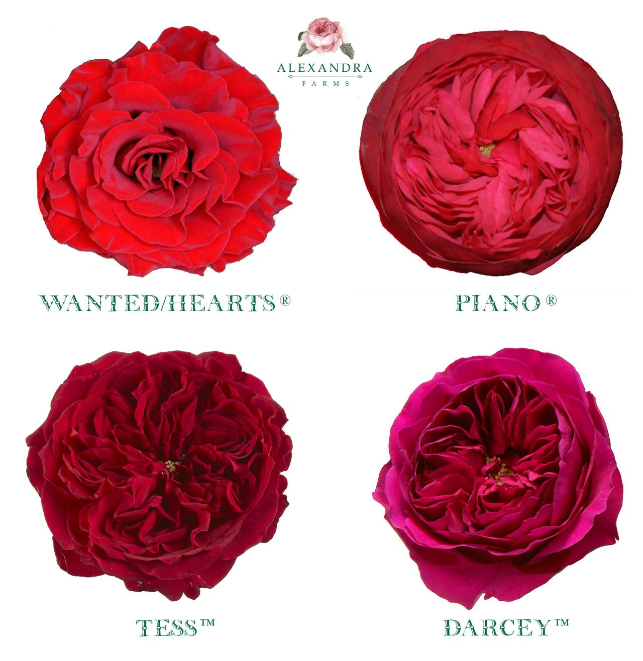 Today Is Red Rose Day This Holiday Honors The Flower That Is A Symbol Of Love And Romance We Grow Four Red Garden Roses At Alexandra Rose Rose Garden Flowers
