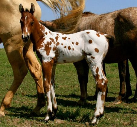 Wow, look at all those spots! They come past this guy's whithers are start creeping up his neck. This colt is very flashy, no wonder he's a stallion prospect. Kobe's Thunder can be traced back to historically important Appaloosas the likes of The Executive and Bright Eyes Brother.