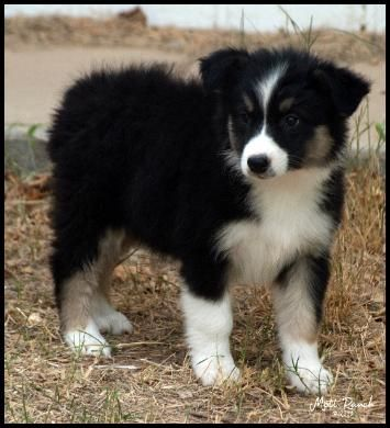 Black Tri Female Australian Shepherd Puppy Www Ranchmott Com Perros Animales Mejores Amigos