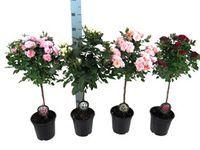 Roza Drzewko Rosa Sp Plants Garden