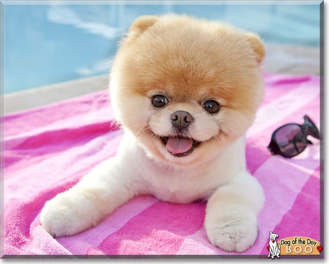 boo the pomeranian from san francisco is todays dog of the day hes been called