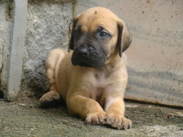 Great Dane Puppies For Sale In Kerala Zoe Fans Blog Great Dane