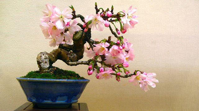 Sakura Bonsai | Flickr - Photo Sharing!