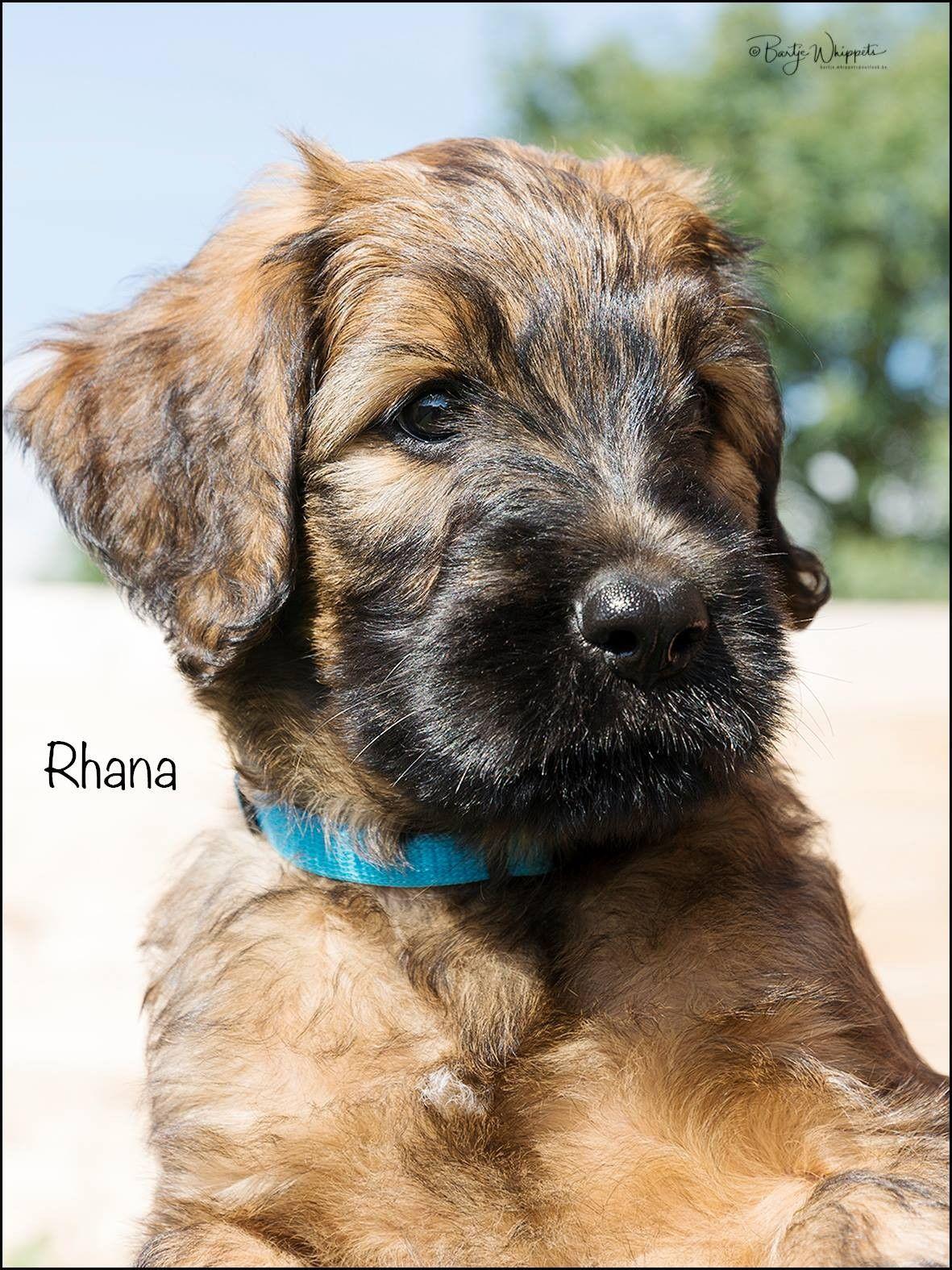 Pin Von Barbara Rathmanner Auf Briard Puppies