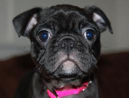 This Is A Bugg A Boston Terrier Pug Mix Our Vet Seems To Think