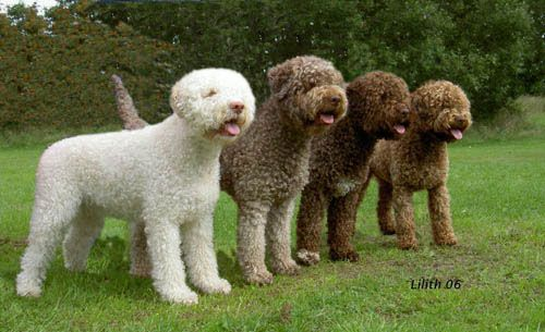 Lagotto Romagnolo Such An Amazing Breed So Smart And Beautiful Love Mine Water Dog Breeds Lagotto Romagnolo Rare Dogs