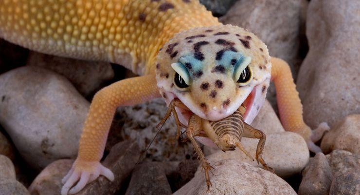 How To Care For A Leopard Gecko Reptile Centre Leopard Gecko Leopard Gecko Diet Gecko