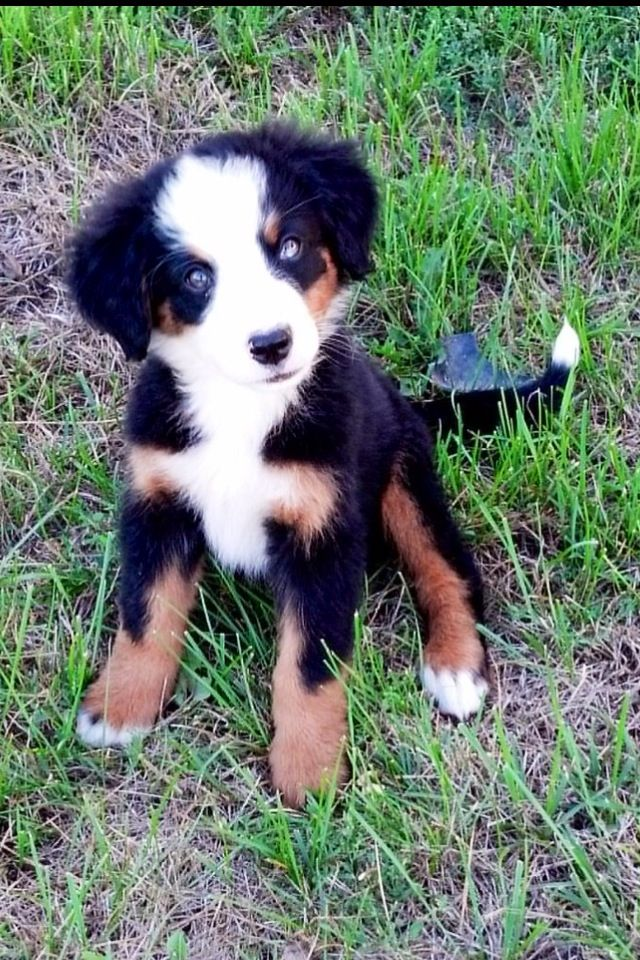My New Puppy Bernese Mountain Dog Lover Her Blue Eyes