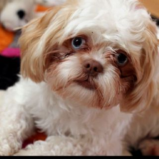 Blue Eyed Shih Tzu Macy Shih Tzu Cute Animals Blue Eyes