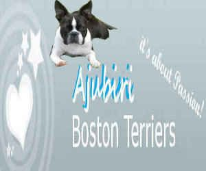 Ajubiri Boston Terriers http://www.bostonterrier.za.net