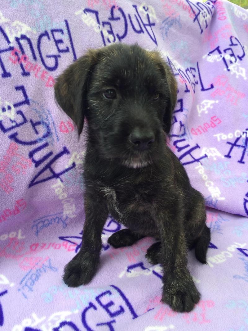 Adopt Betty On Irish Wolfhound Mix Irish Wolfhound Wolfhound