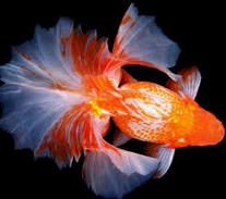 Tosakin Goldfish For Sale