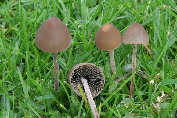 Panaeolus cinctulus | psilocybe List & lookalikes | Stuffed