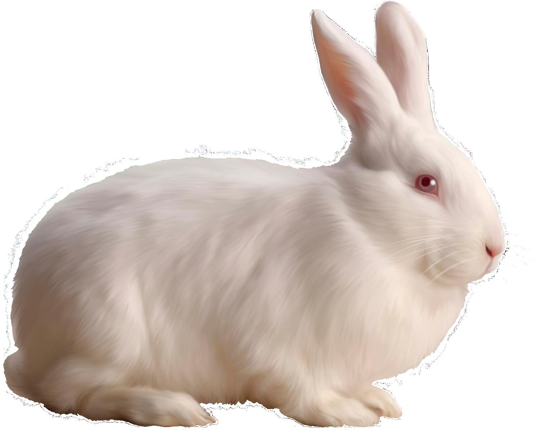 White Rabbit Free Clipart Rabbit Colors Rabbit Png Rabbit Pictures