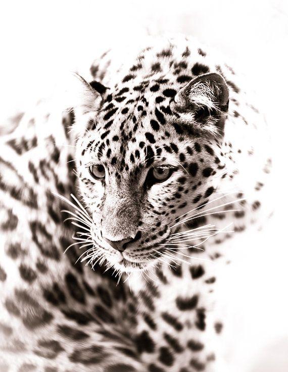 Leopard Fine Art Monochrome Animal Photography by BethWold $25.00  sc 1 st  Pinterest & Leopard Art - Monochrome Animal Artwork - Wildlife Home Decor - Wall ...