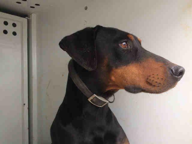 Doberman Pinscher Dog For Adoption In Sacramento Ca Adn 523485
