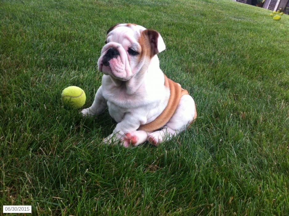 English Bulldog Puppy for Sale in Pennsylvania Bulldog