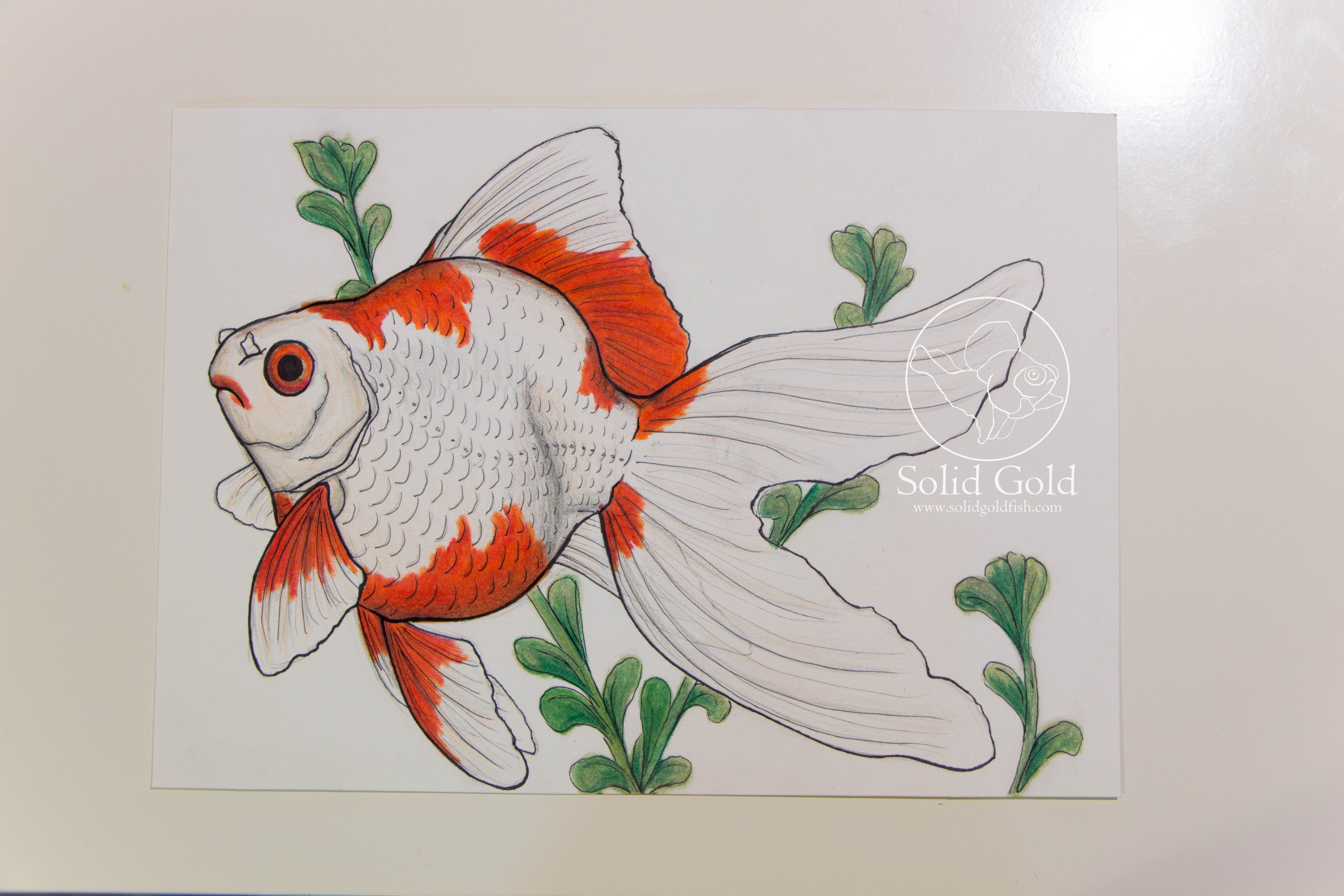 Tamasaba Goldfish Drawing By Jennie Connelly Solidgoldfish Com