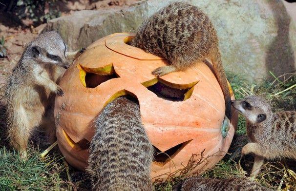 Getting ready for Halloween. Animal views - The Washington Post