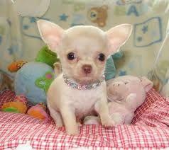 Teacup Chihuahua! I want it!!