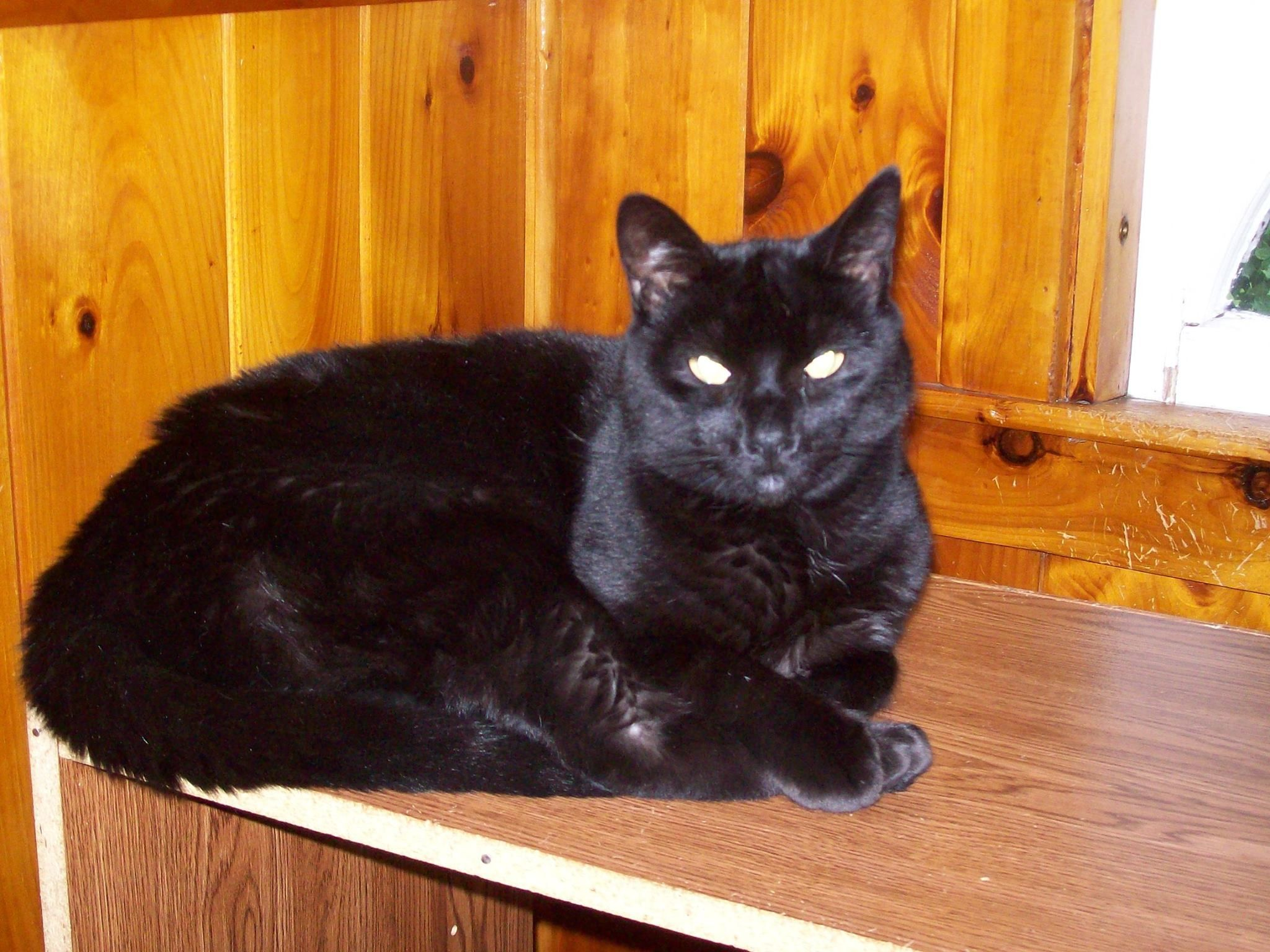 Salem Short Haired Black Cat Male Age 4 Is Fixed And Up 2 Date W Shots In Canterbury Ct Found Cat Cats Black Cat