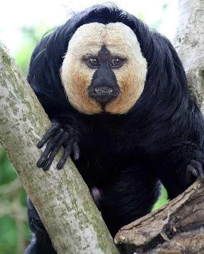 White-faced Saki Monkey of Brazil, French Guiana, Guyana, Suriname, and Venezuela