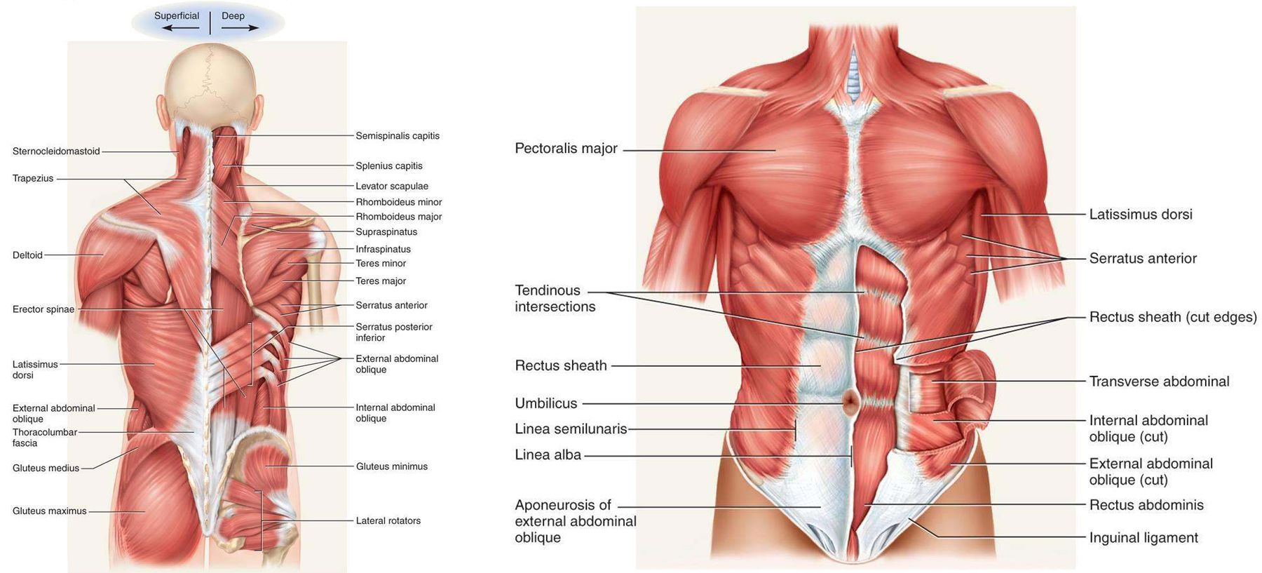 Thoracoappendicular Muscles