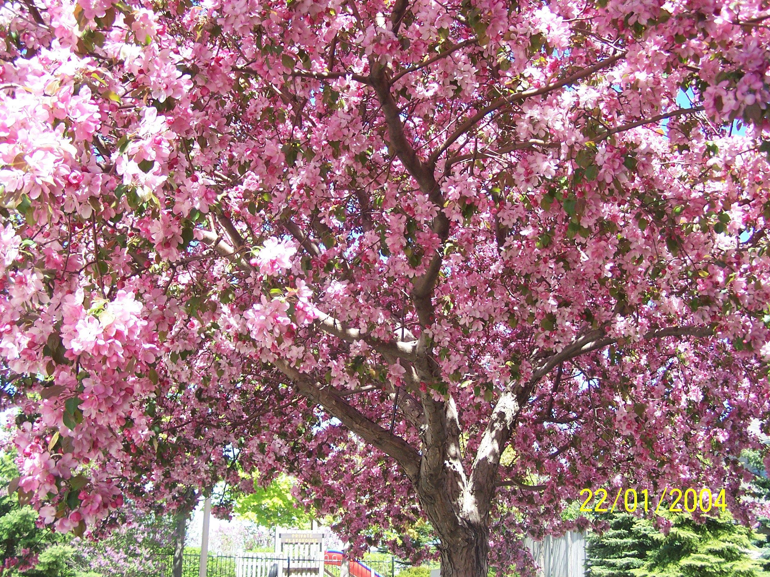 Cherry Blossom Cherry Blossom Tree Cherry Blossom Tree