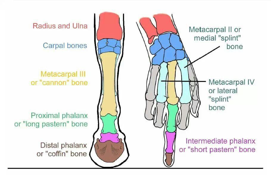 Dem horse bones   horse bones   Pinterest   Horse bones, Horse and ...