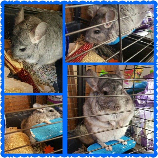 My chinchilla Hocus Pocus, isn't he the cutest... #exoticpets, #chinchillas