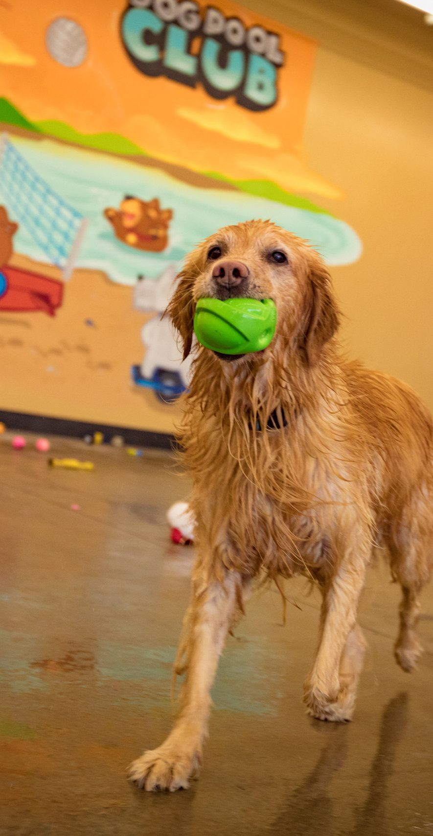 Indoor Dog Park Swimming Pools For Dogs Sf Bay Area Dog Pool Club Dog Pool Dogs Indoor Dog