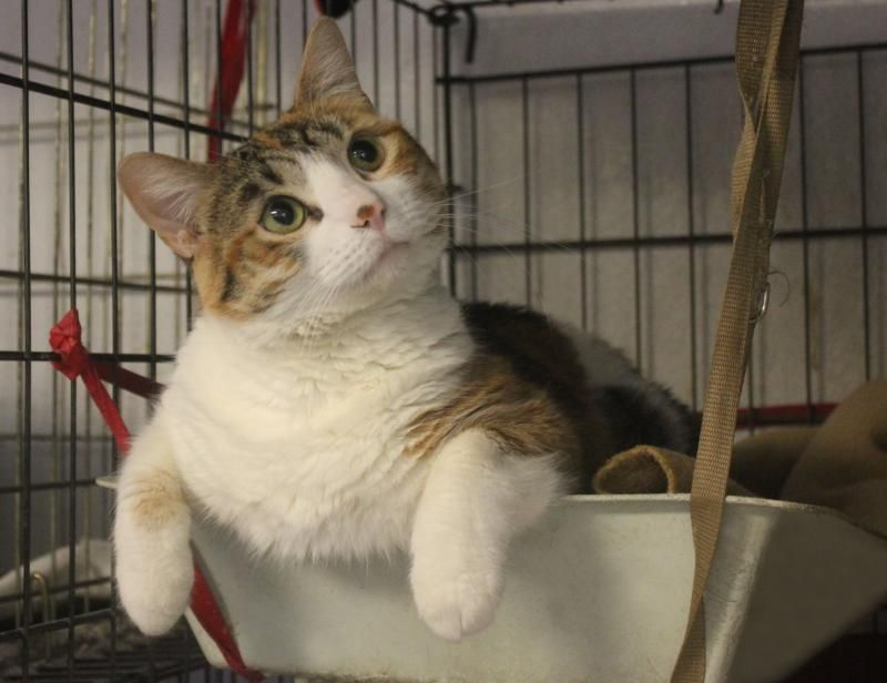 Adopt Ren on Cats, Humane society, Pets