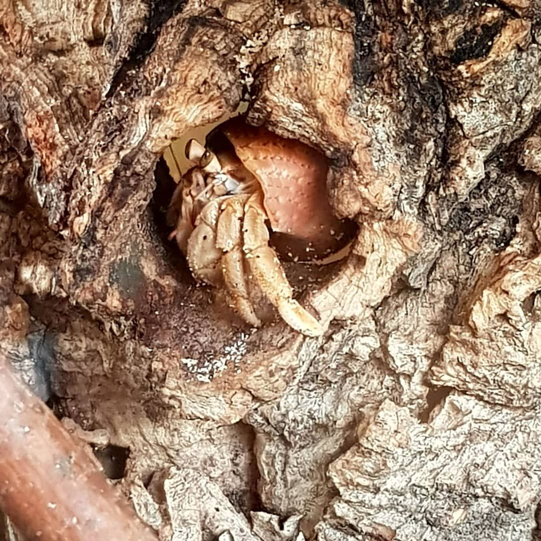 Hermit crabs love cork bark and it doesn't get mouldy as fast as other wood  #hermitcrab #hermitcrabs #hermitcrabsofinstagram #hermitcra… | Hermit crab,  Hermit, Crab