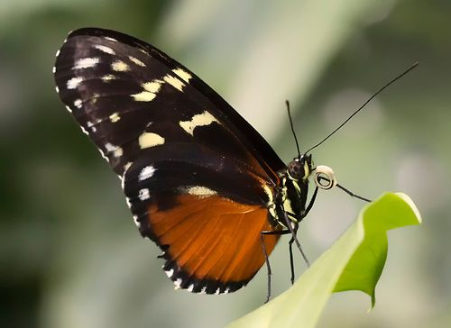 A butterfly is a mainly day-flying insect of the order Lepidoptera, which includes the butterflies and moths. Like other holometabolous insects, the butterfly's life cycle consists of four parts: egg, larva, pupa and adult. Most species are diurnal.