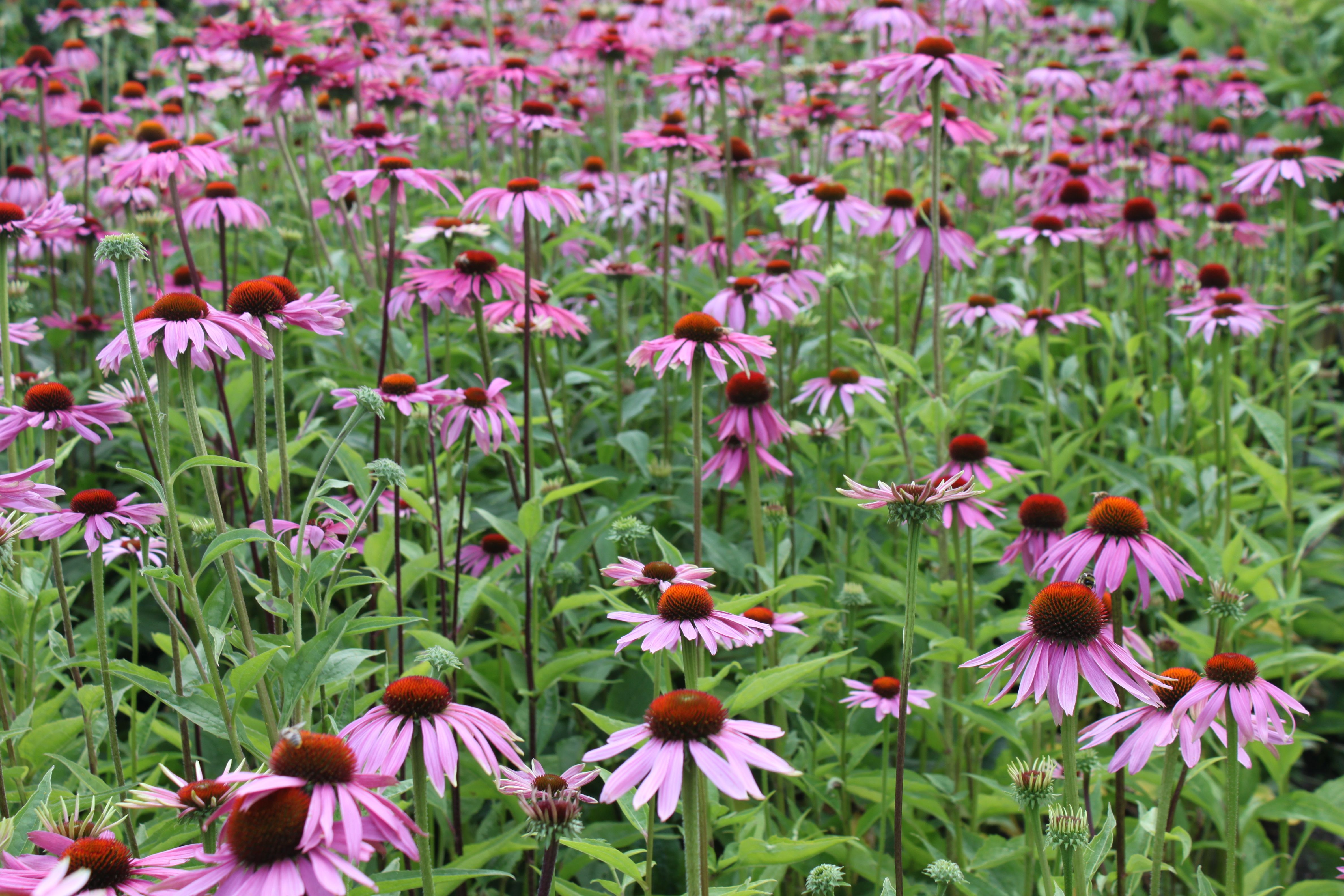 Echinacea en masse | Brighton, hove, Garden design, Garden