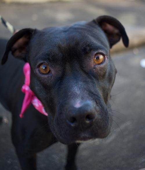 Meet Lux, an adoptable Pit Bull Terrier looking for a forever home. If you're looking for a new pet to adopt or want information on how to get involved with adoptable pets, Petfinder.com is a great resource.