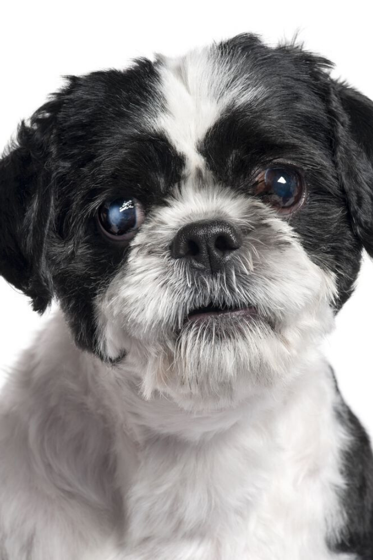 Close Up Of Shih Tzu 4 Years Old In Front Of White Background Shihtzu Shih Tzu Dogs Animals