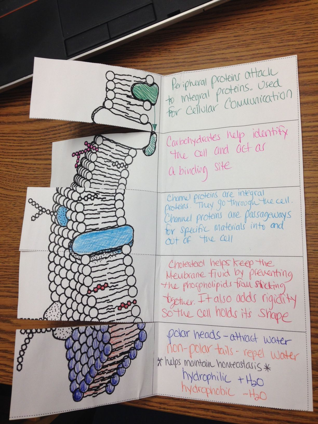 Cell Membrane Function Foldable Scienceclassroom In