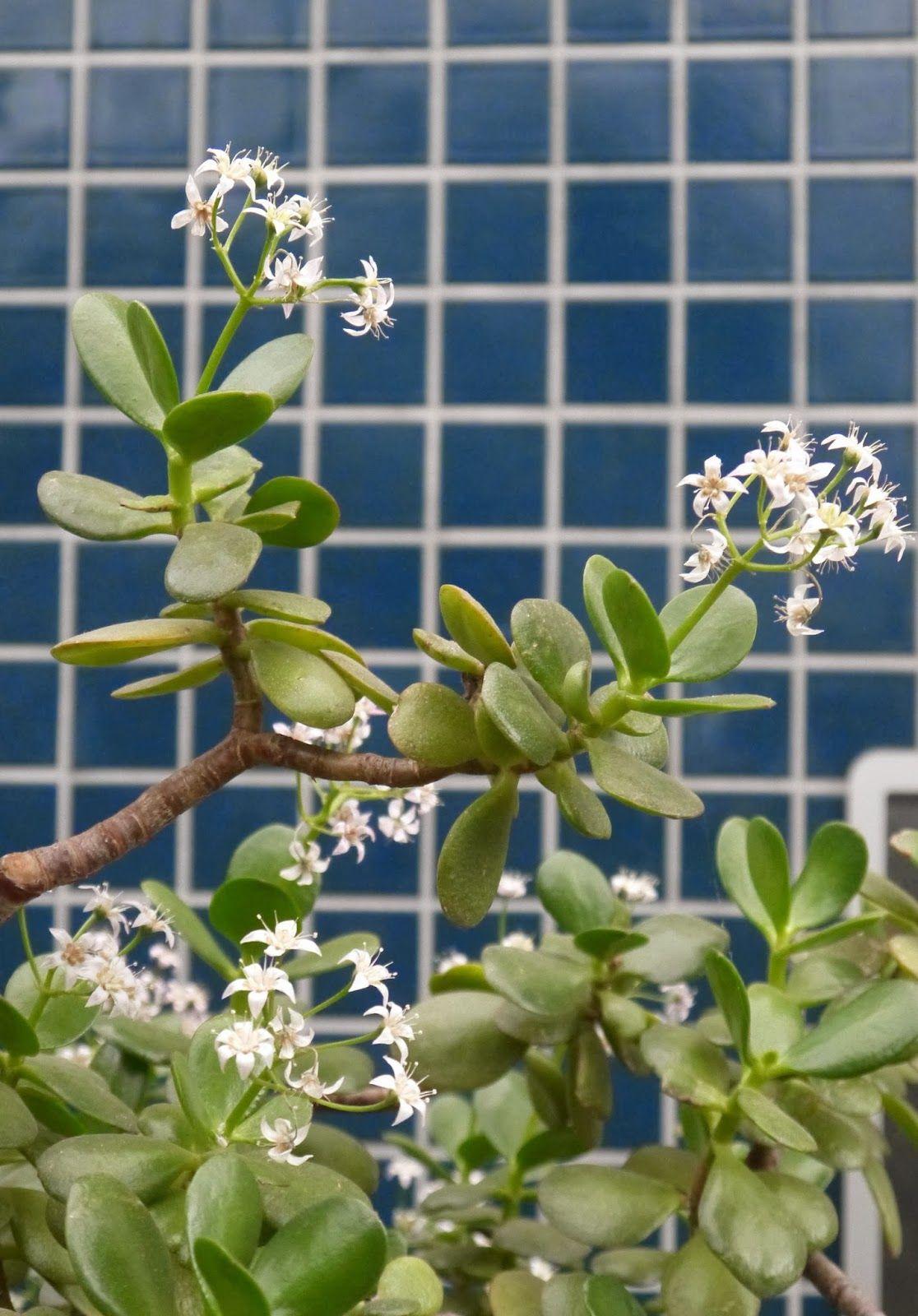 Jade Plant With Flowers Ive Never Had Flowers On Mine Crassula