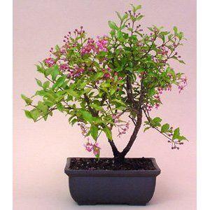 Flowering Cherry Bonsai Tree Bonsai Tree Bonsai Nursery Cherry Bonsai