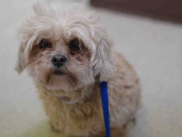 Manhattan Center CHARLES - A1029273 SPAYED FEMALE, BUFF, SHIH TZU MIX, 6 yrs STRAY - STRAY WAIT, HOLD FOR ID Reason STRAY Intake condition UNSPECIFIE Intake Date 03/02/2015 https://www.facebook.com/Urgentdeathrowdogs/photos/pb.152876678058553.-2207520000.1425504719./971057696240443/?type=3&theater