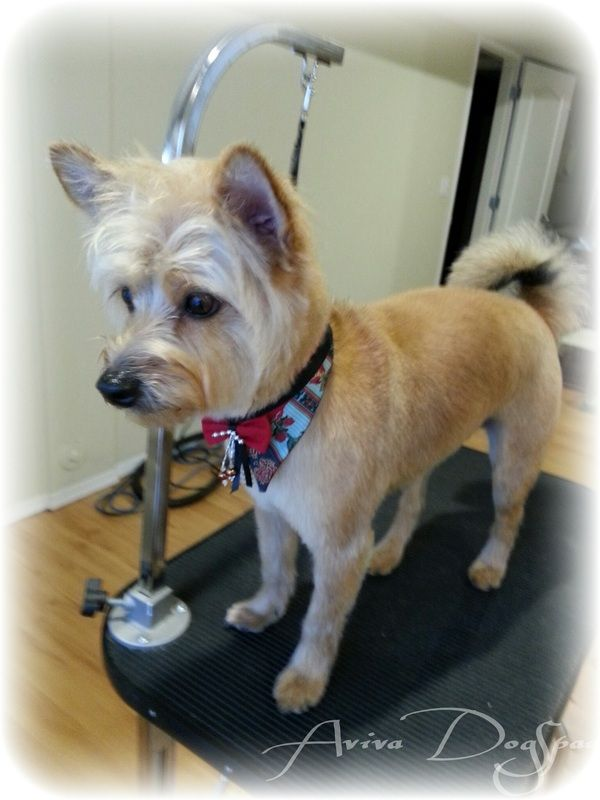Terrier Mix Stylishly Groomed At Aviva Dogspaw Dog Groomer In