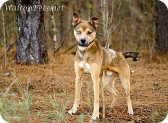 Siberian Husky Boxer Mix Boxer Mix Siberian Husky Husky