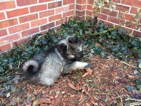 Keeshond Puppy For Sale In Denver Co Adn 24195 On Puppyfinder