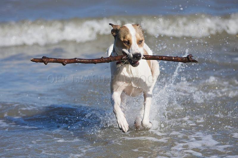 Bulldog and Coonhound mix