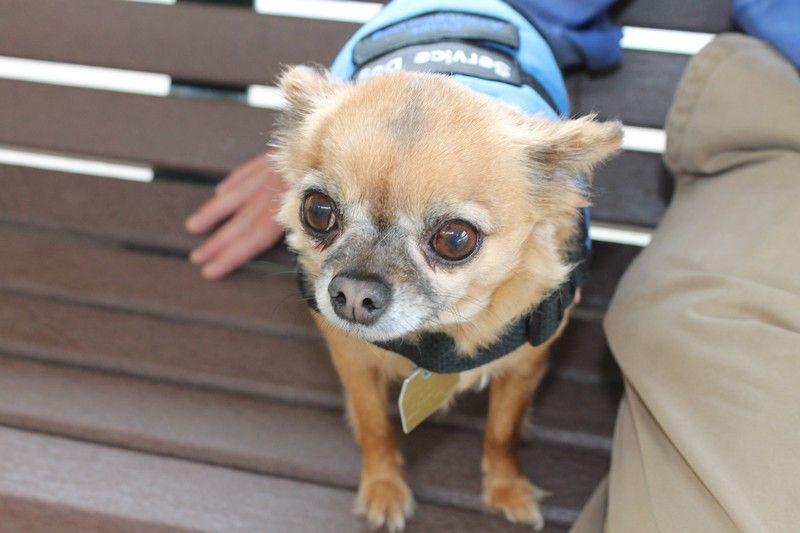 Chihuahua Unique Service Dog Service Animal Service Dogs Dogs