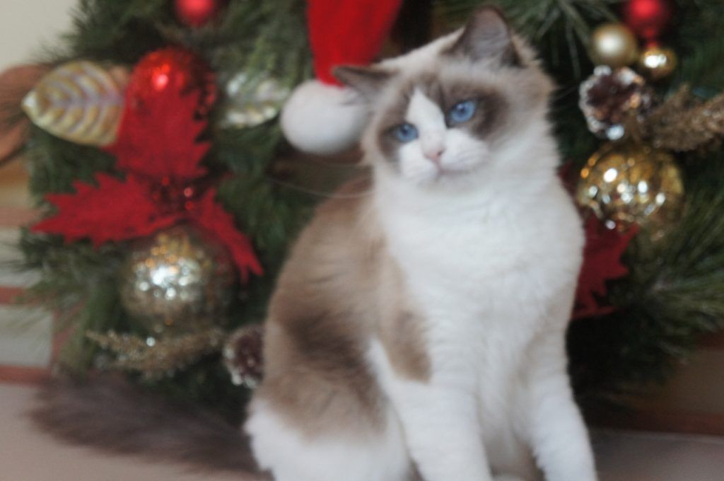 Adorable Grand Champion Ragdoll Kittens For Adoption Riterags